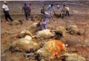 Palestinians' sheep killed by violent Jews