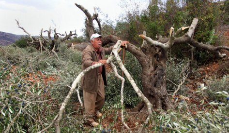 Palestinian man inspects his olive trees that were destroyed by violent Jewish settler colonists