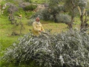 Palestinian with his Olive trees, destroyed  by Jews
